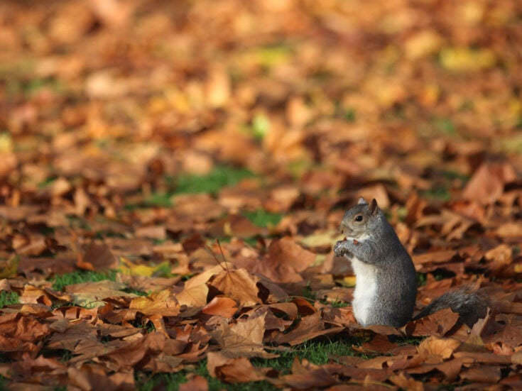 The solution to the grey squirrel crisis? Pastry, a roux sauce, mushrooms and hazelnuts