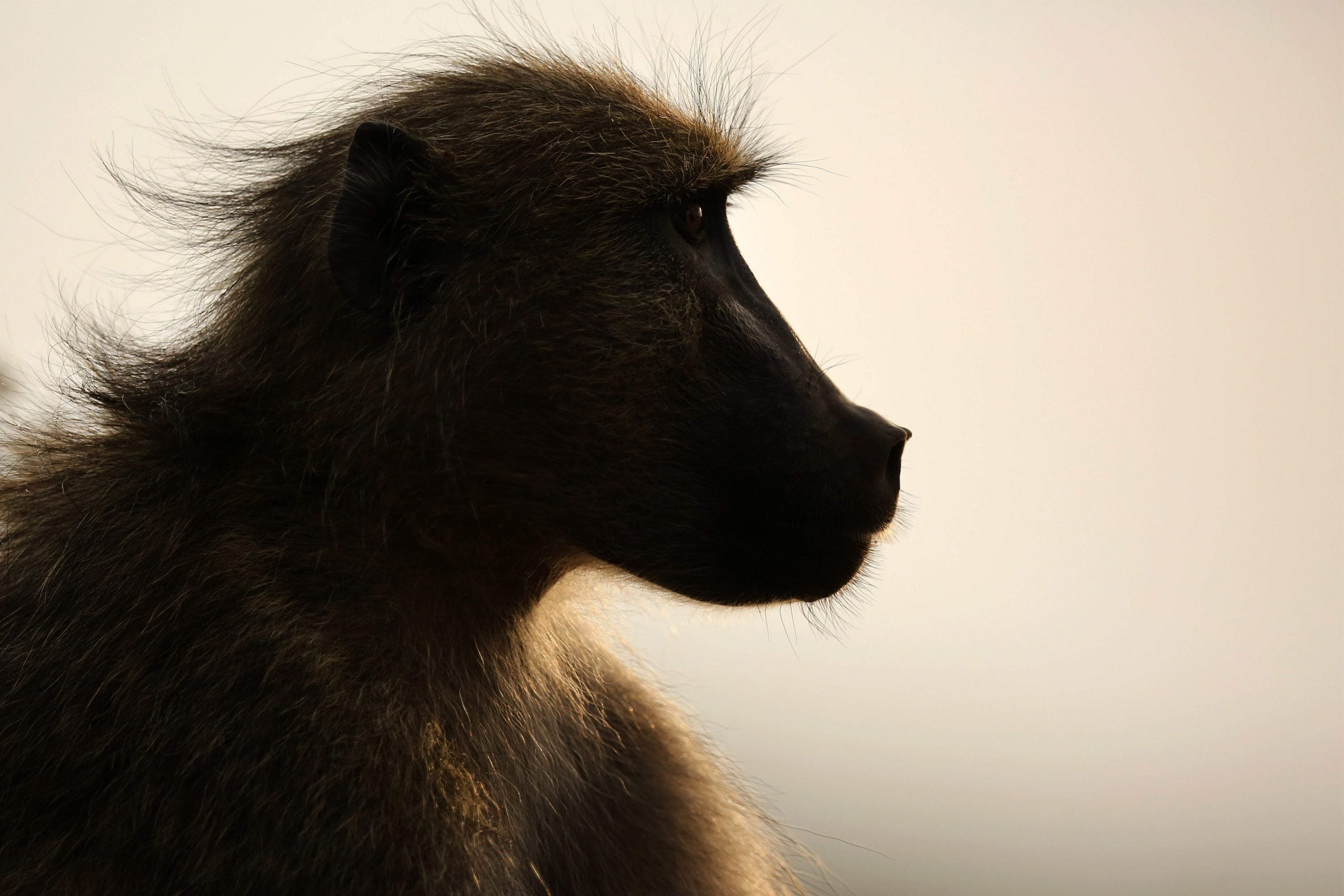 Baboons who share personality traits stick together – humans shouldn't be tempted to do the same