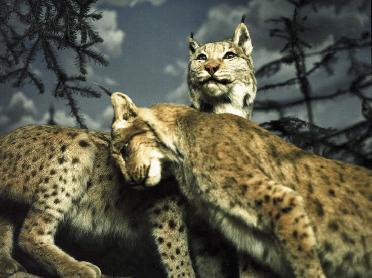 Bring back the big cats: is it time to start rewilding Britain?