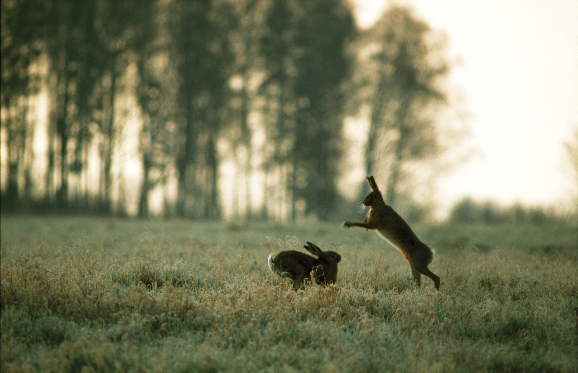 The graceful dance of shape-shifting hares