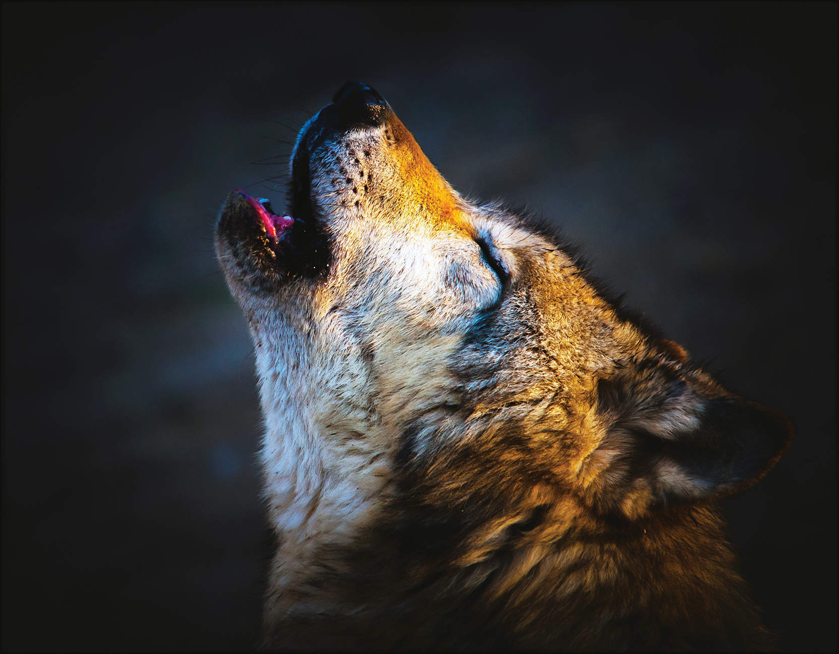 The company of wolves: hunting an ancient predator in the Paris commuter belt
