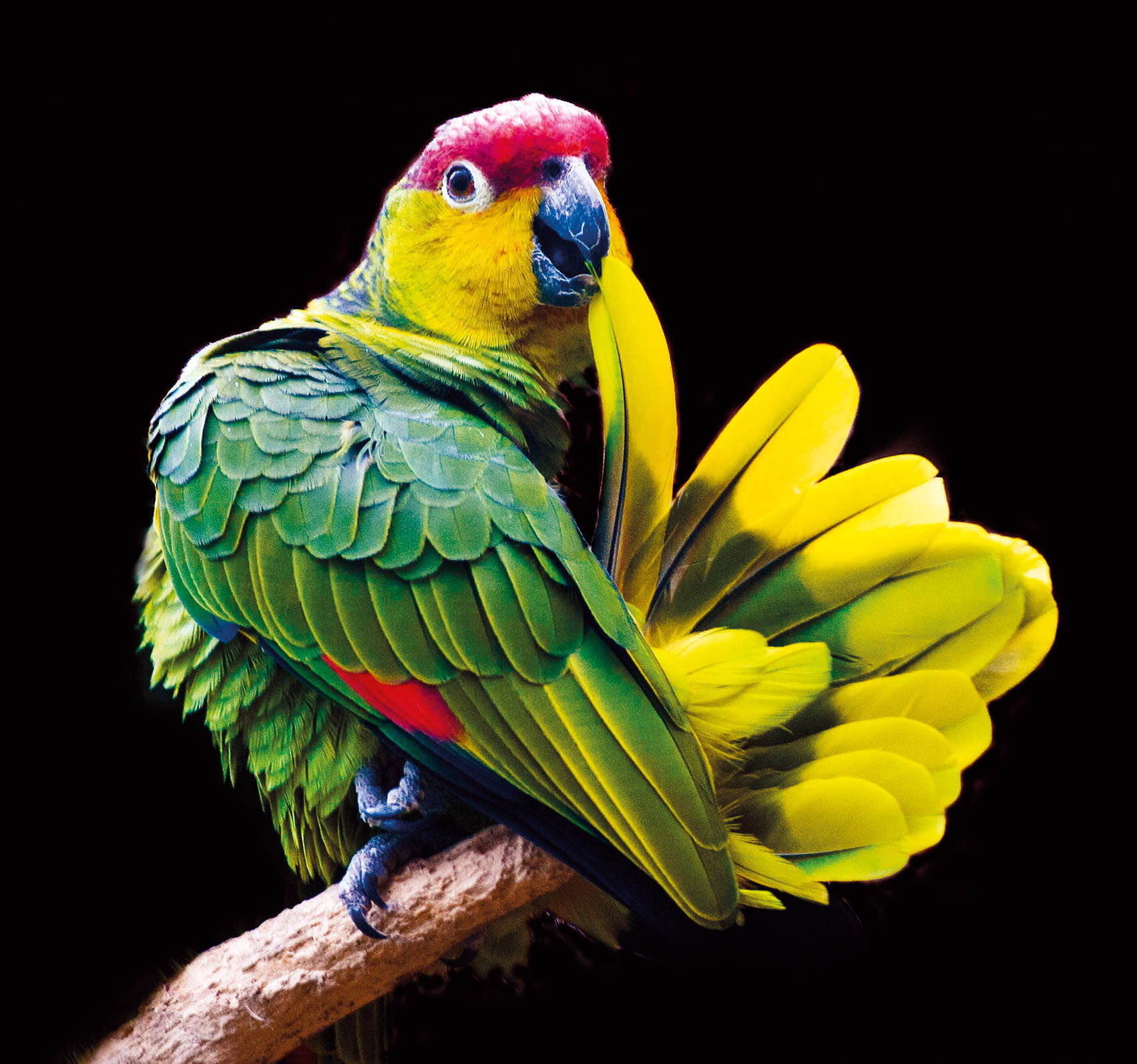 Imitation game: the parrot that learned to mimic a ringtone