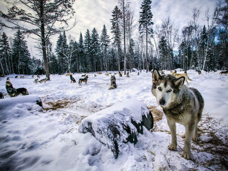 The Wolf is a profound account detailing the return of the world's most enduring carnivore
