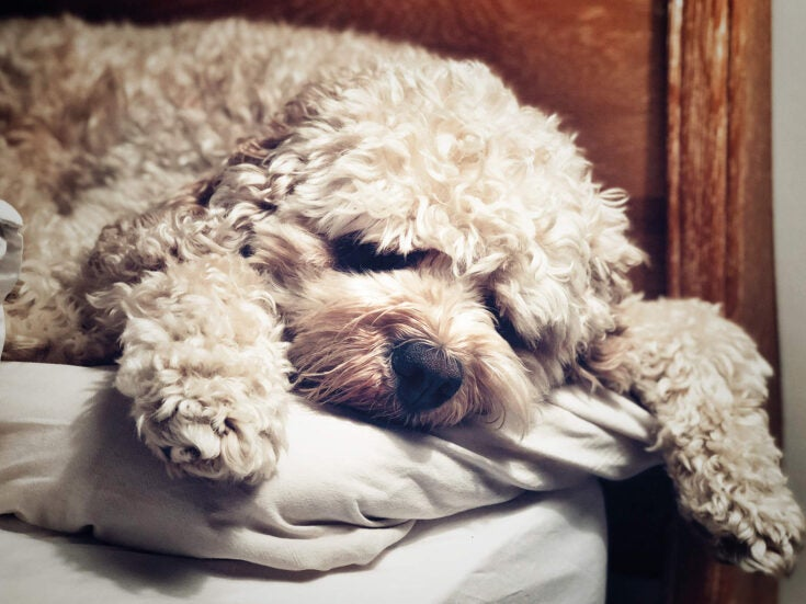 She said Hector was dreaming of rabbits – but how can we know what animals see in sleep?