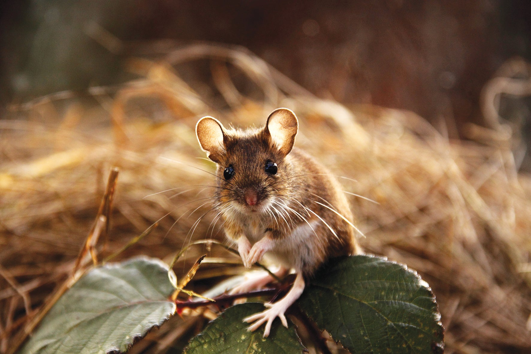 Winter is coming, and stubborn little field mice are beginning to take up residence in my house
