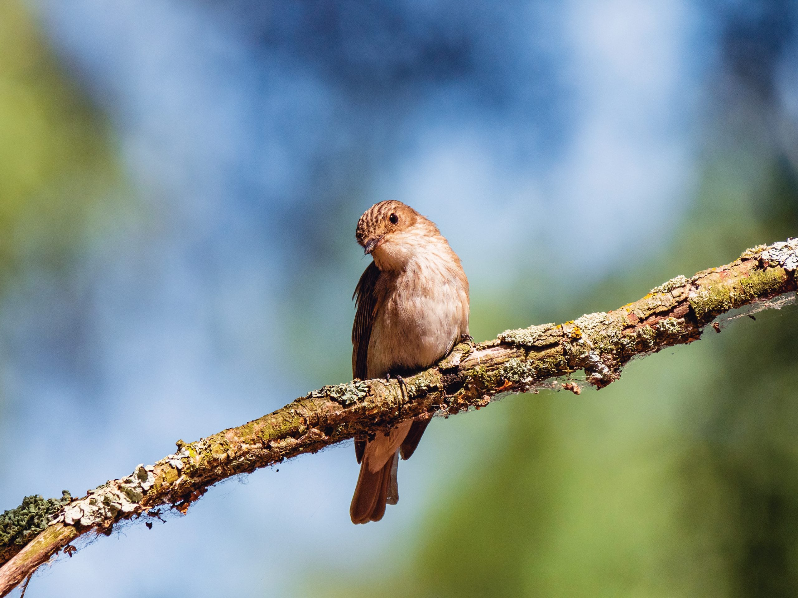 Summer reflection: Call of the flycatcher