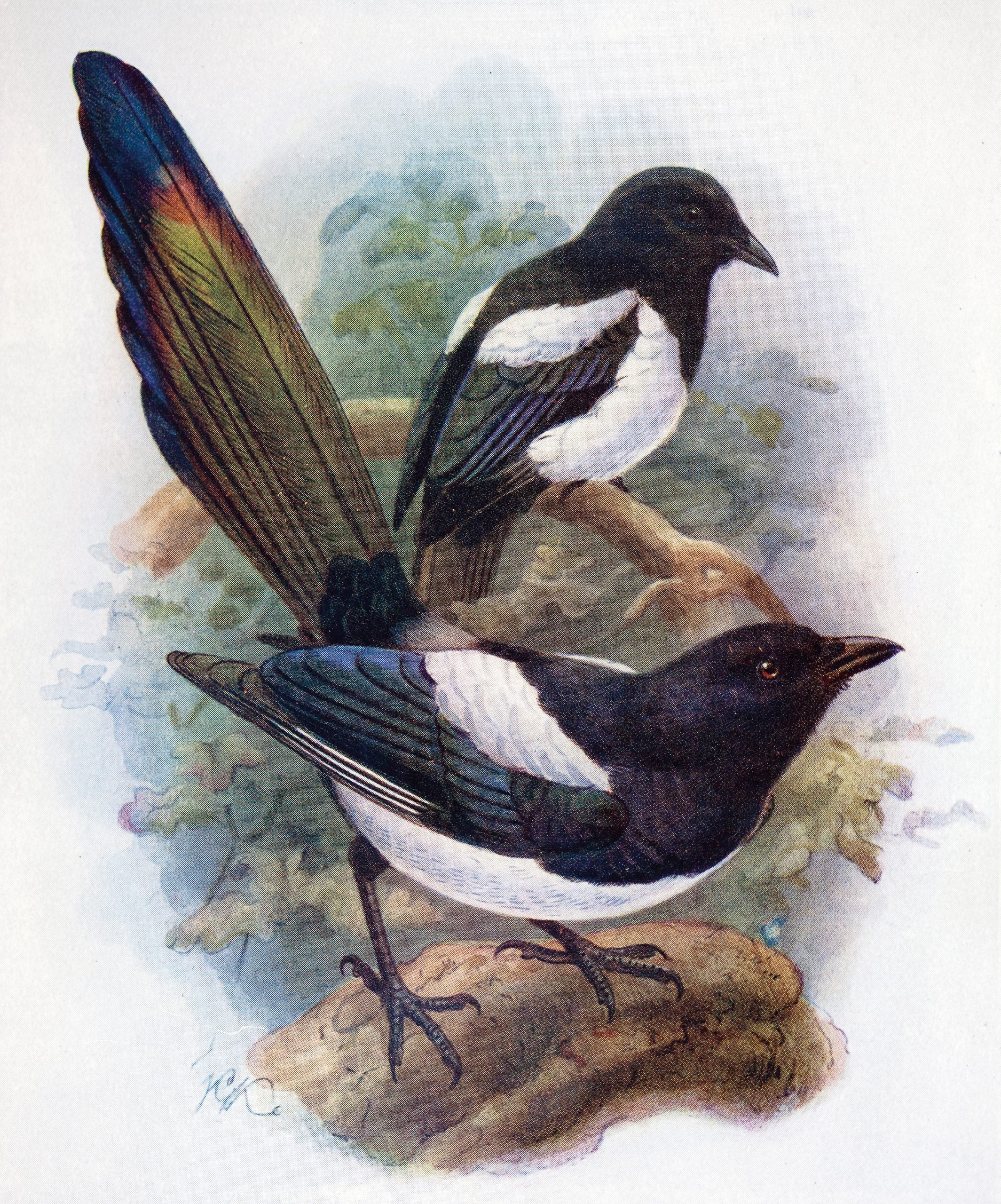 What do magpies want?