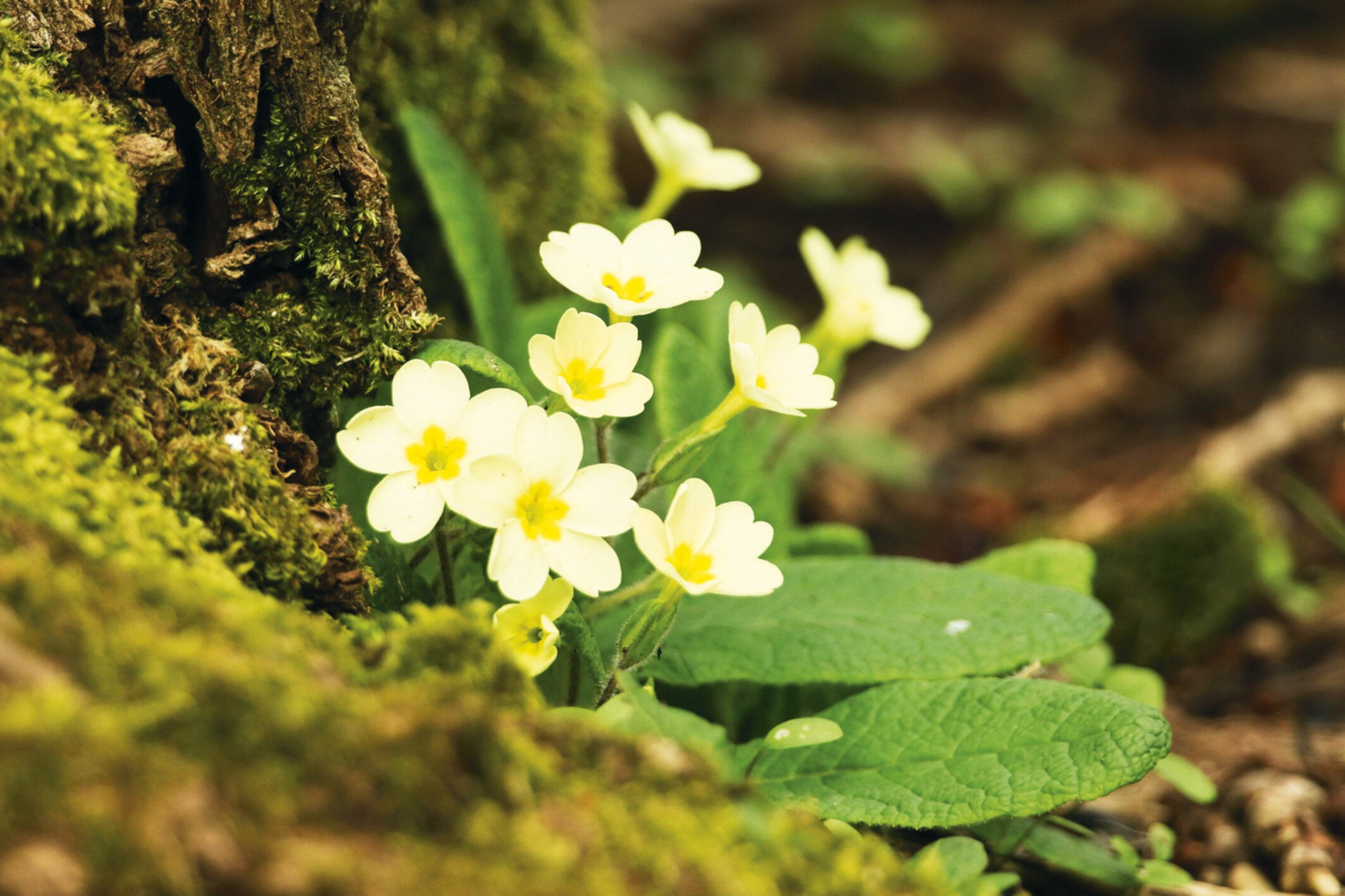 Some look to their calendars for the start of spring – but I see it in a clump of yellow primulas