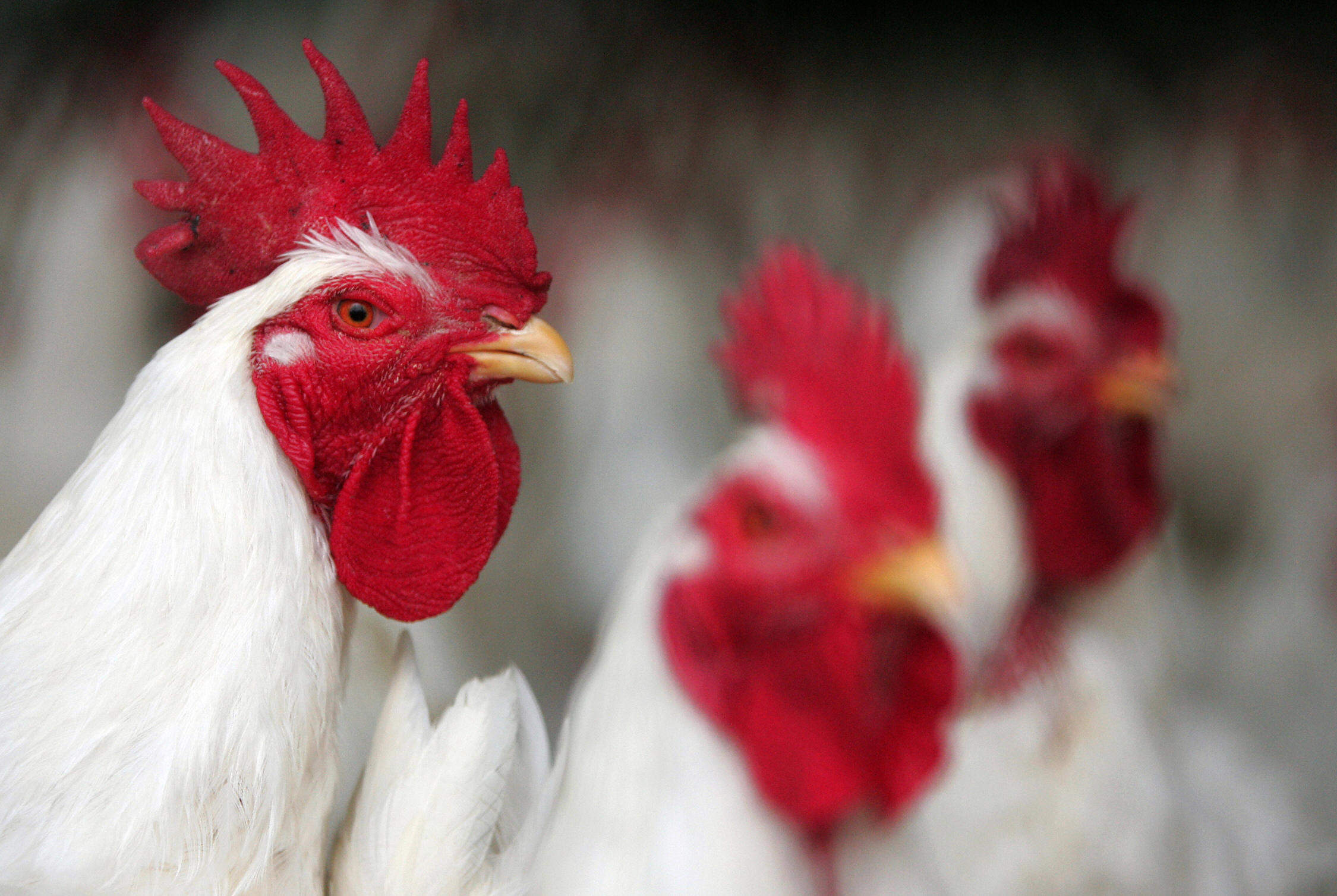 A Fox among the chickens: why chlorinated poultry is about more than what's on your plate