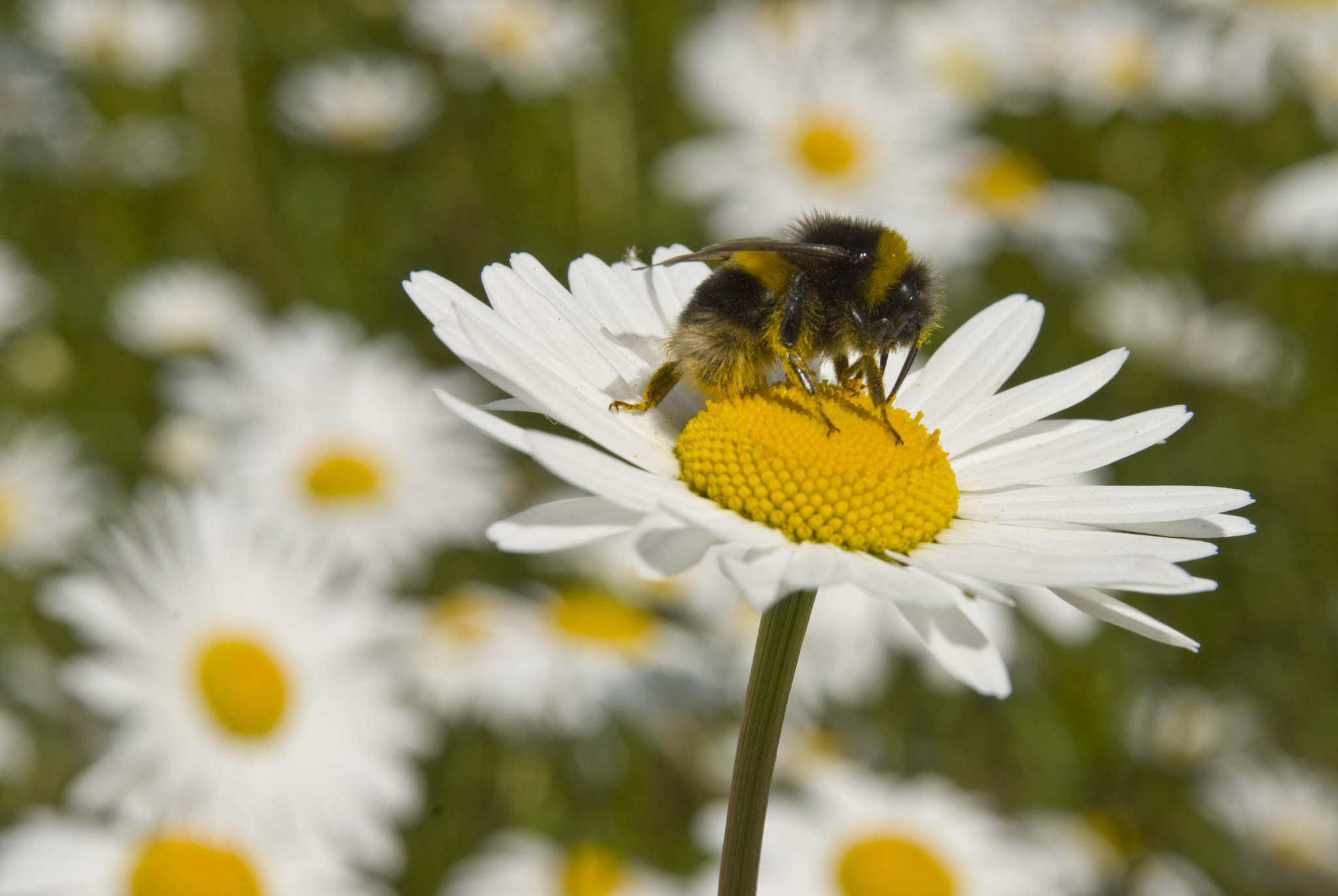 Nectar robbers: how flowers discriminate against the wrong kind of bees