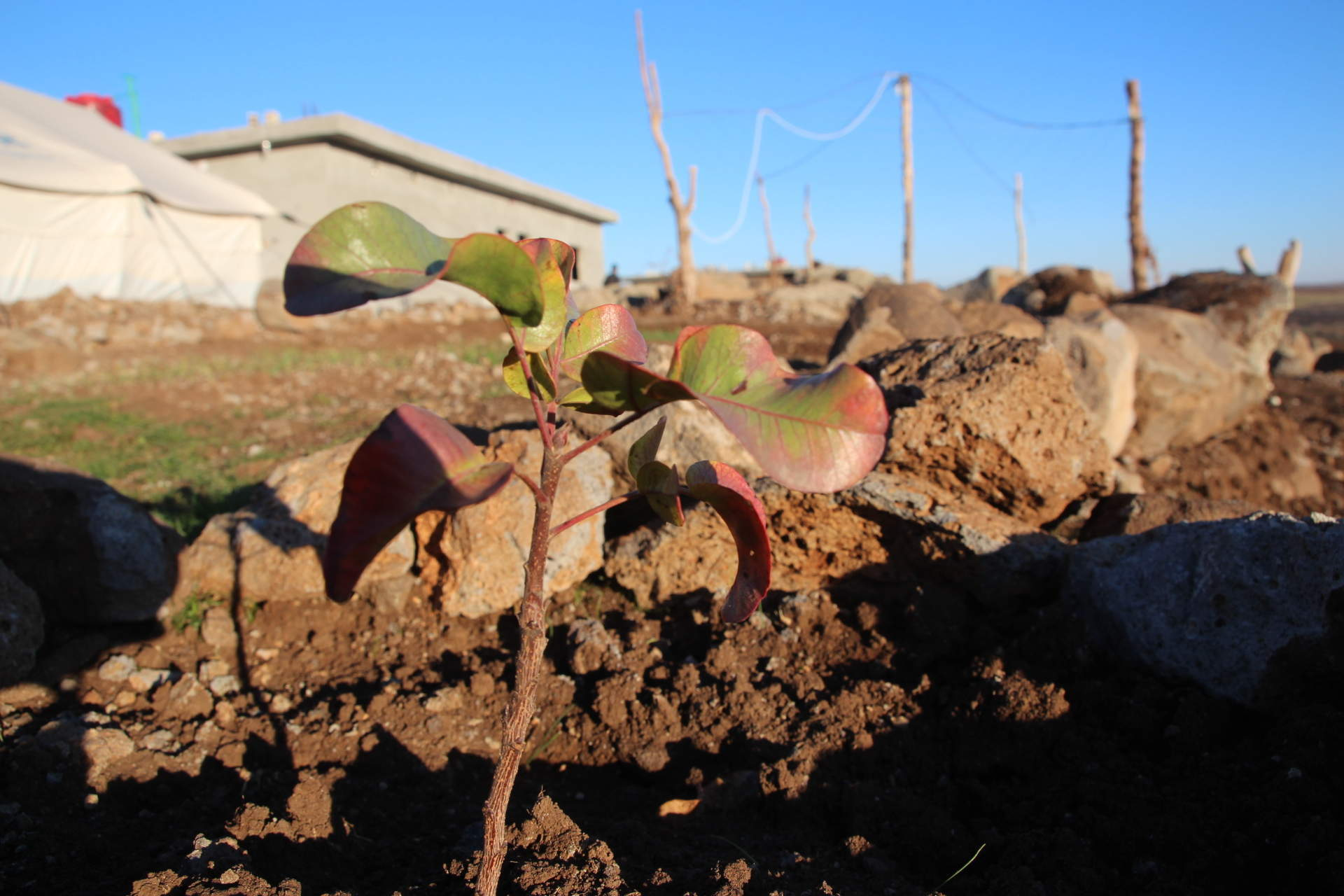 Planting trees below Turkish bombs in Syria