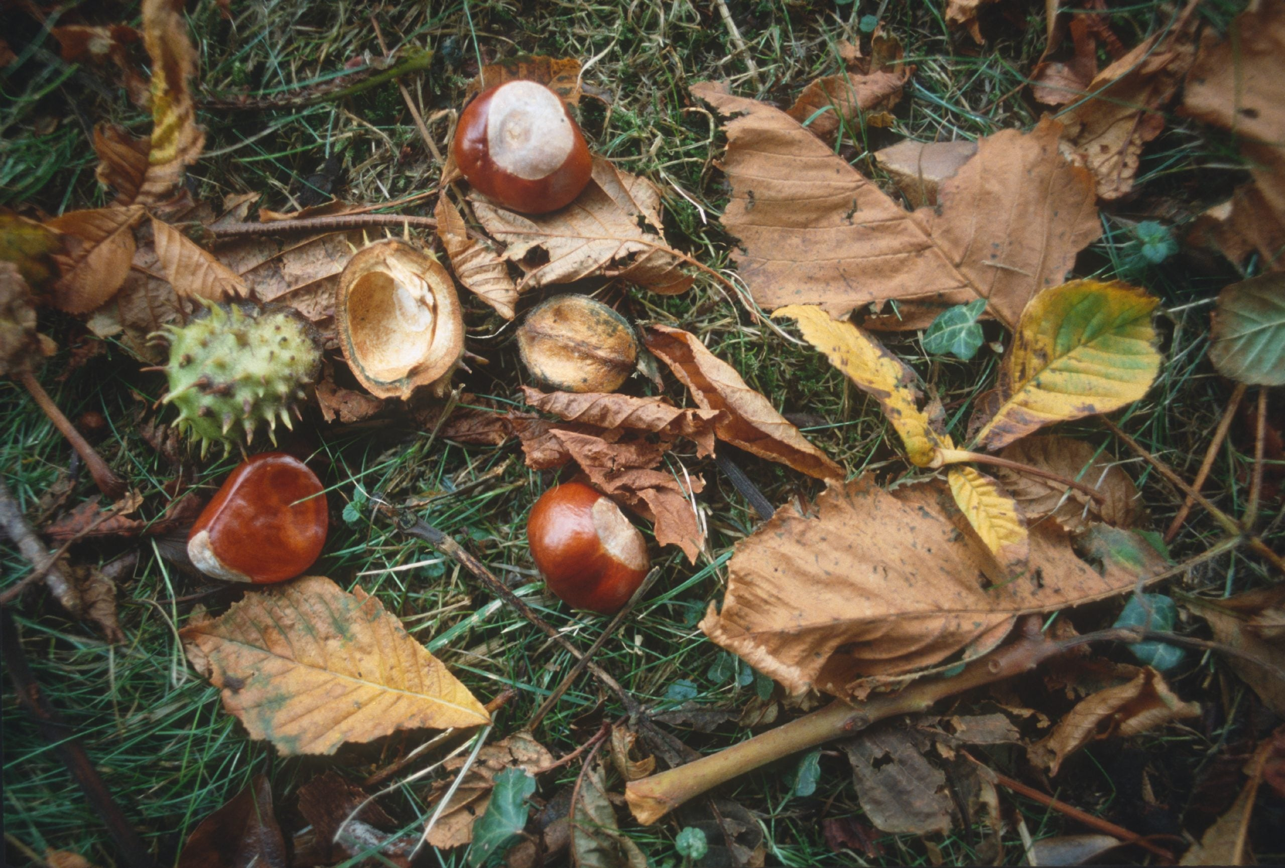 The NS Poem: Horse chestnut