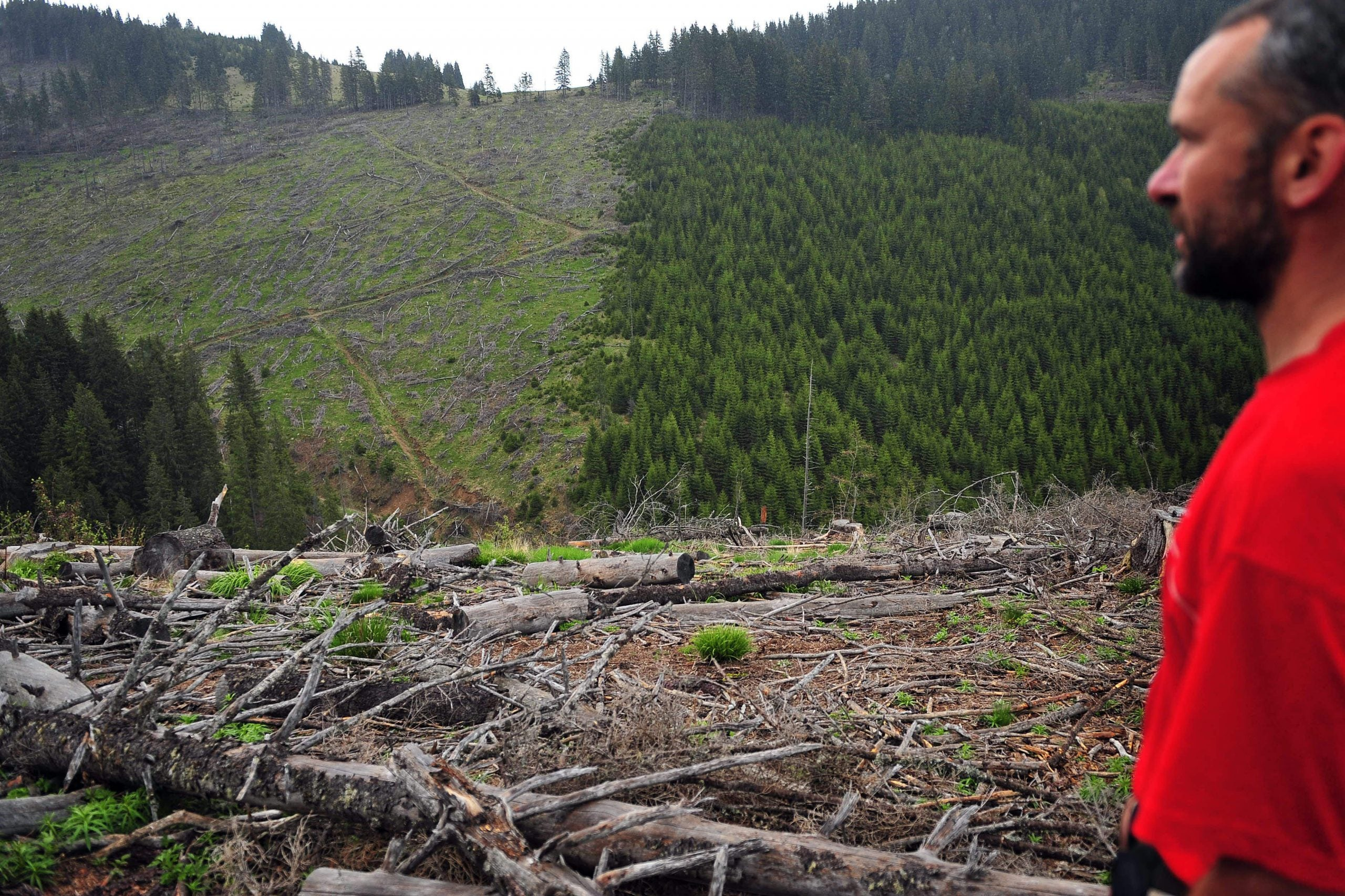The race to save Romania's forests: how illegal loggers lay waste to the wilderness