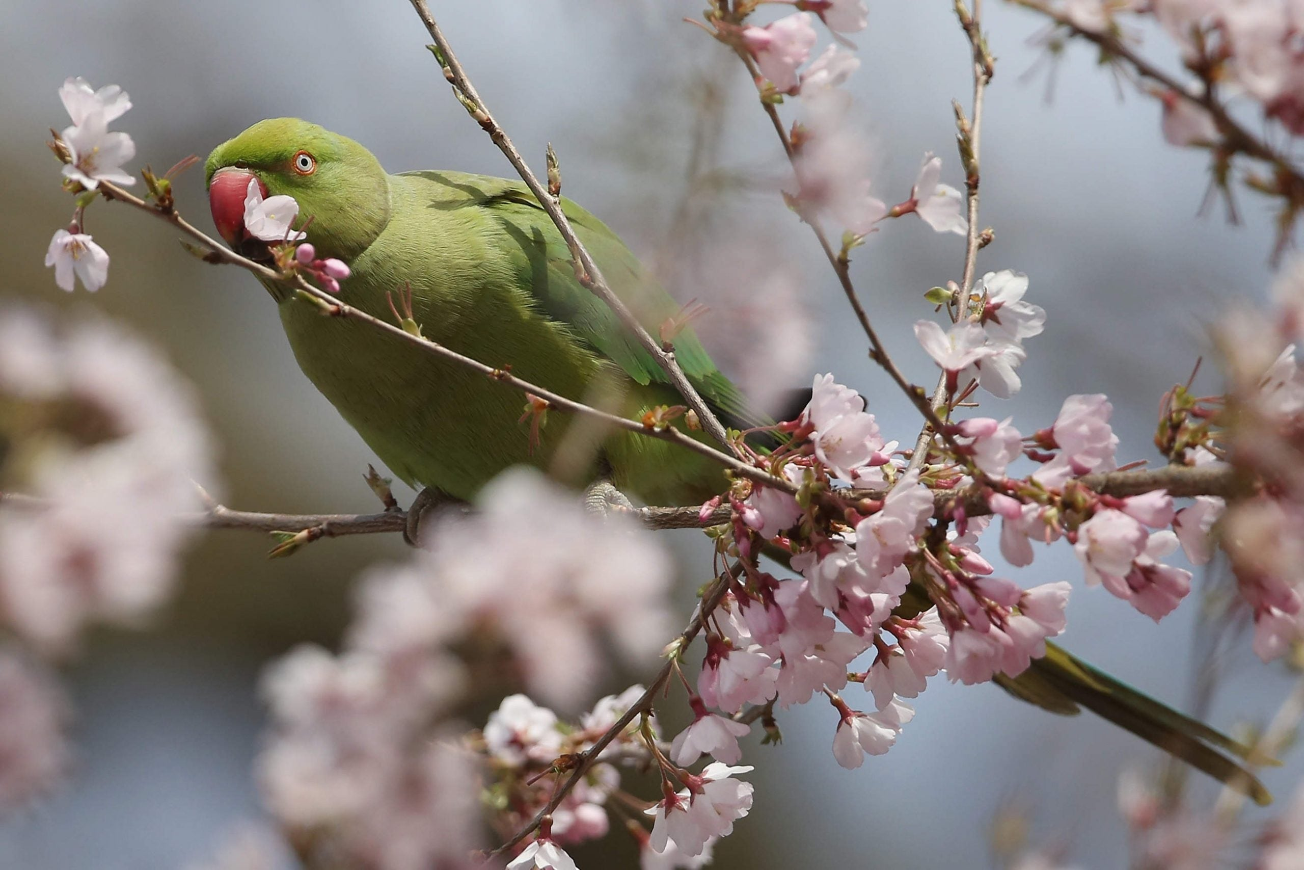 Ringnecks over Ramsgate: where did Britain's parrots come from?