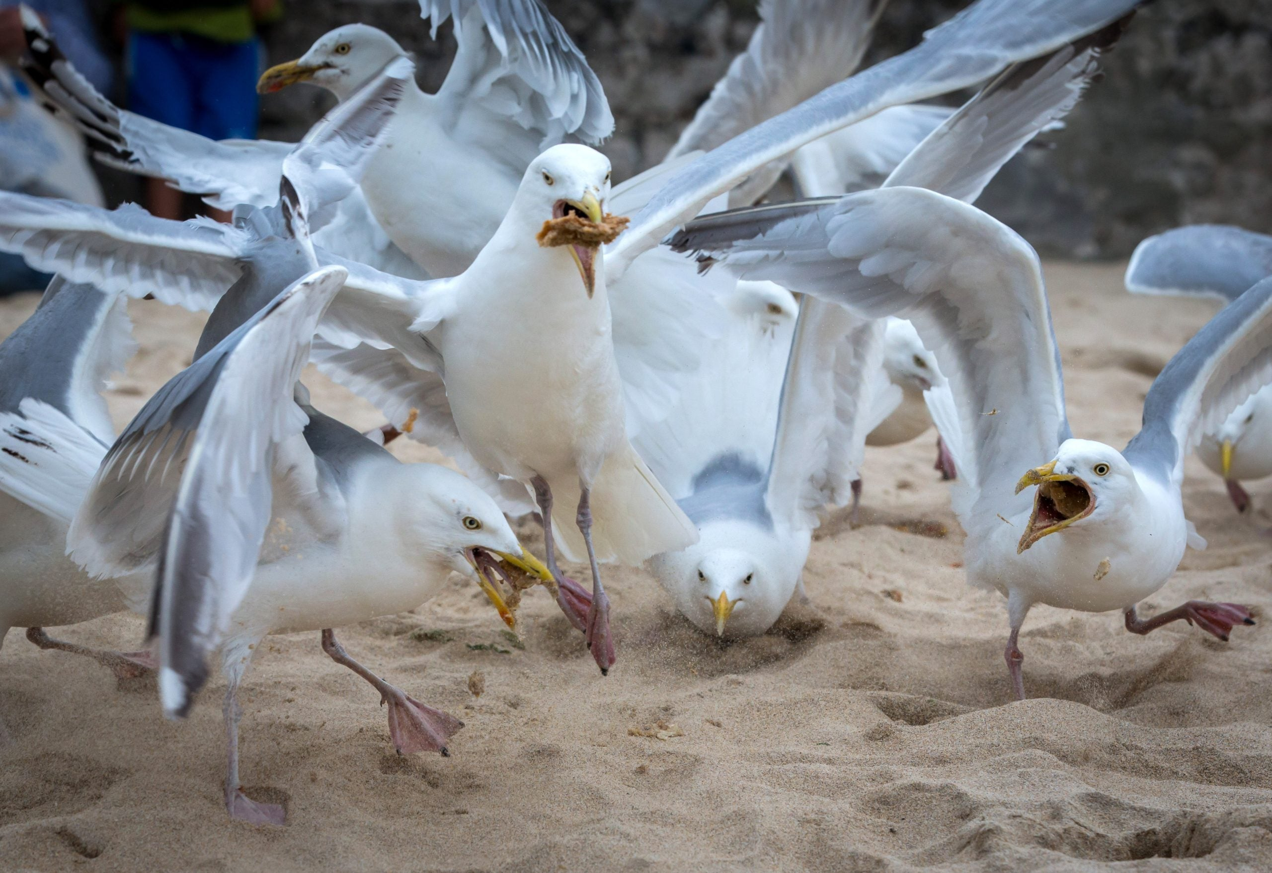 Our interaction with seagulls may be why they take our chips in the first place