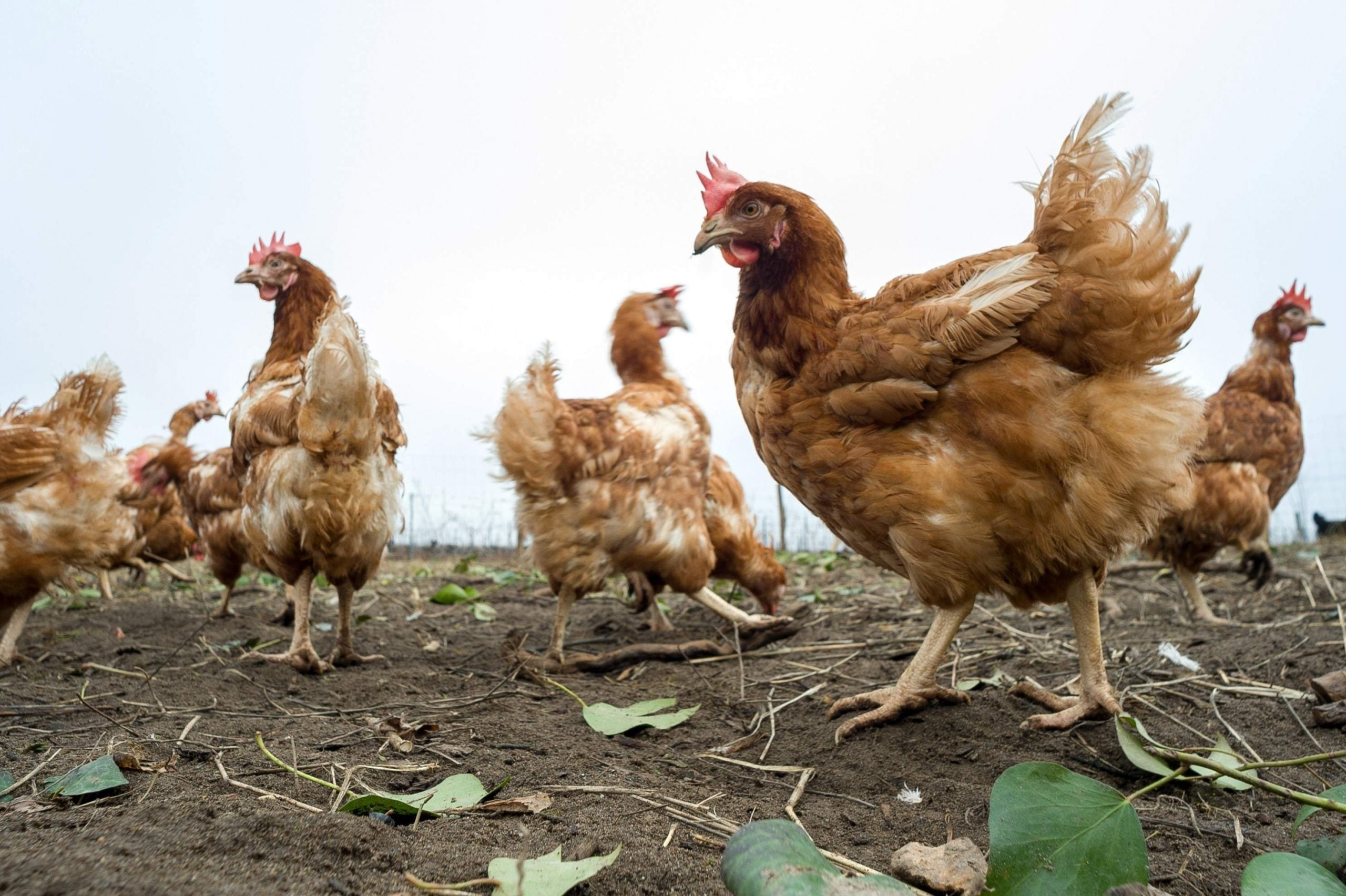 The radio station where the loyal listeners are chickens