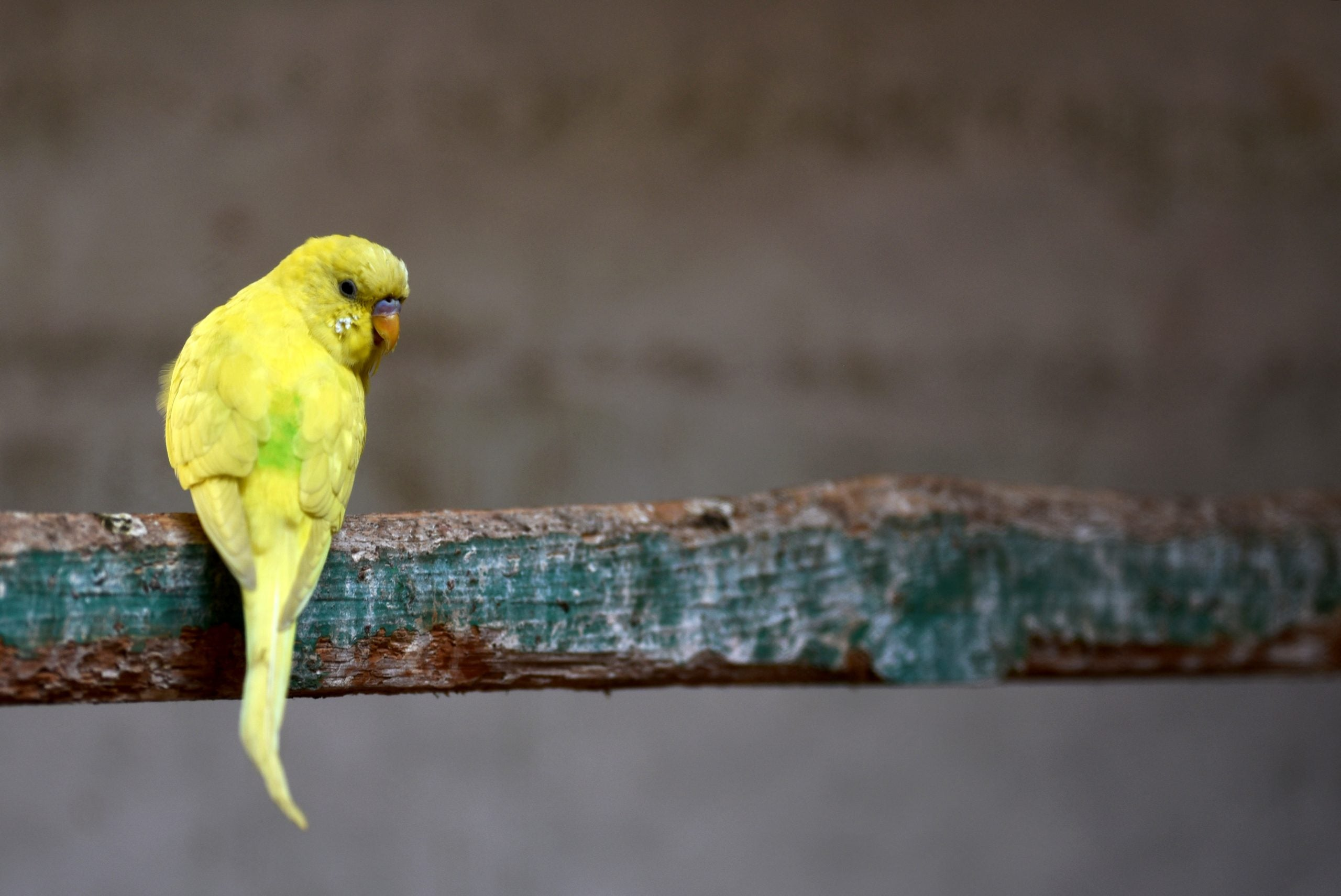 Diogenes the budgie likes Ella Fitzgerald. I suggest the Beatles and he shuffles down his perch