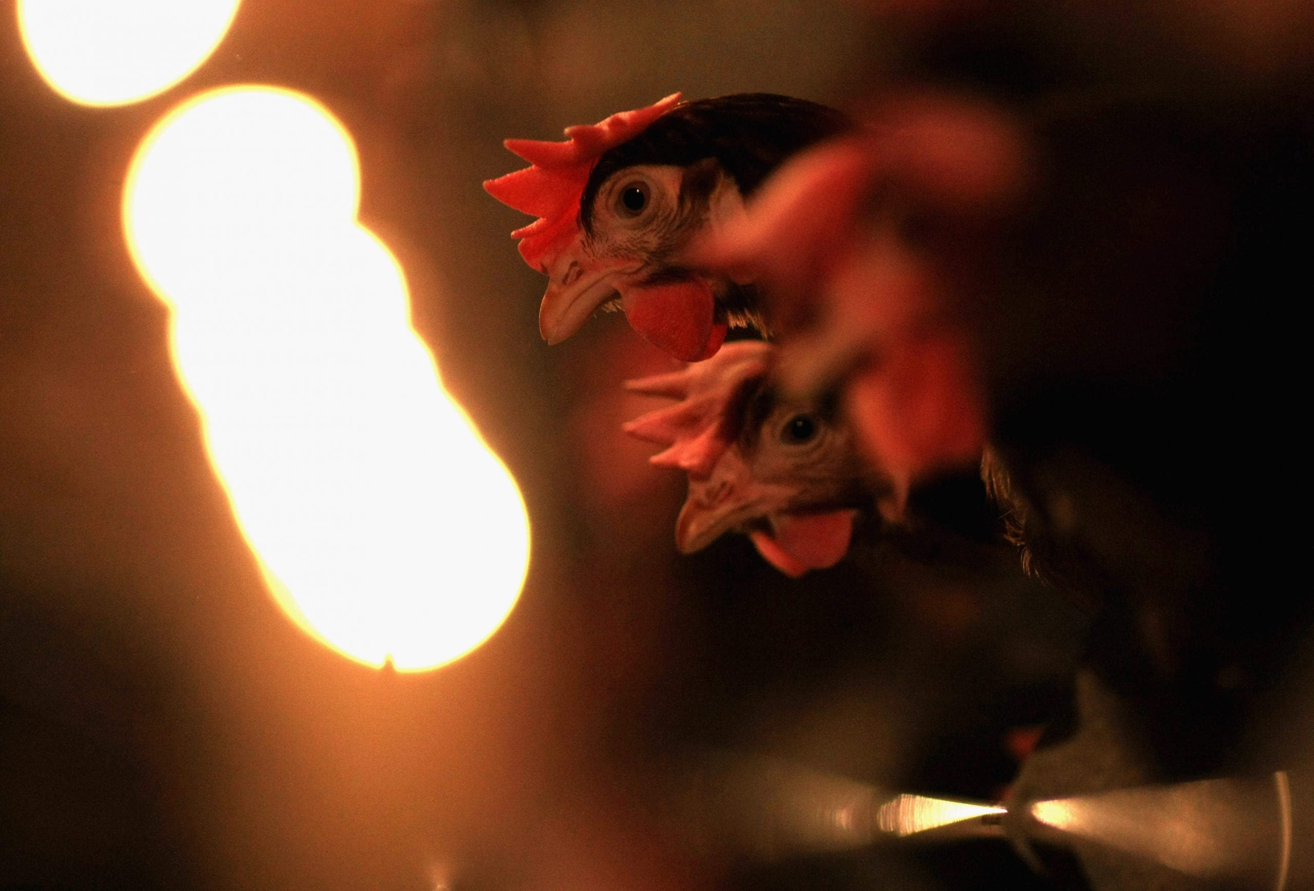 The reason chicken is a popular British food? Because we started factory farming