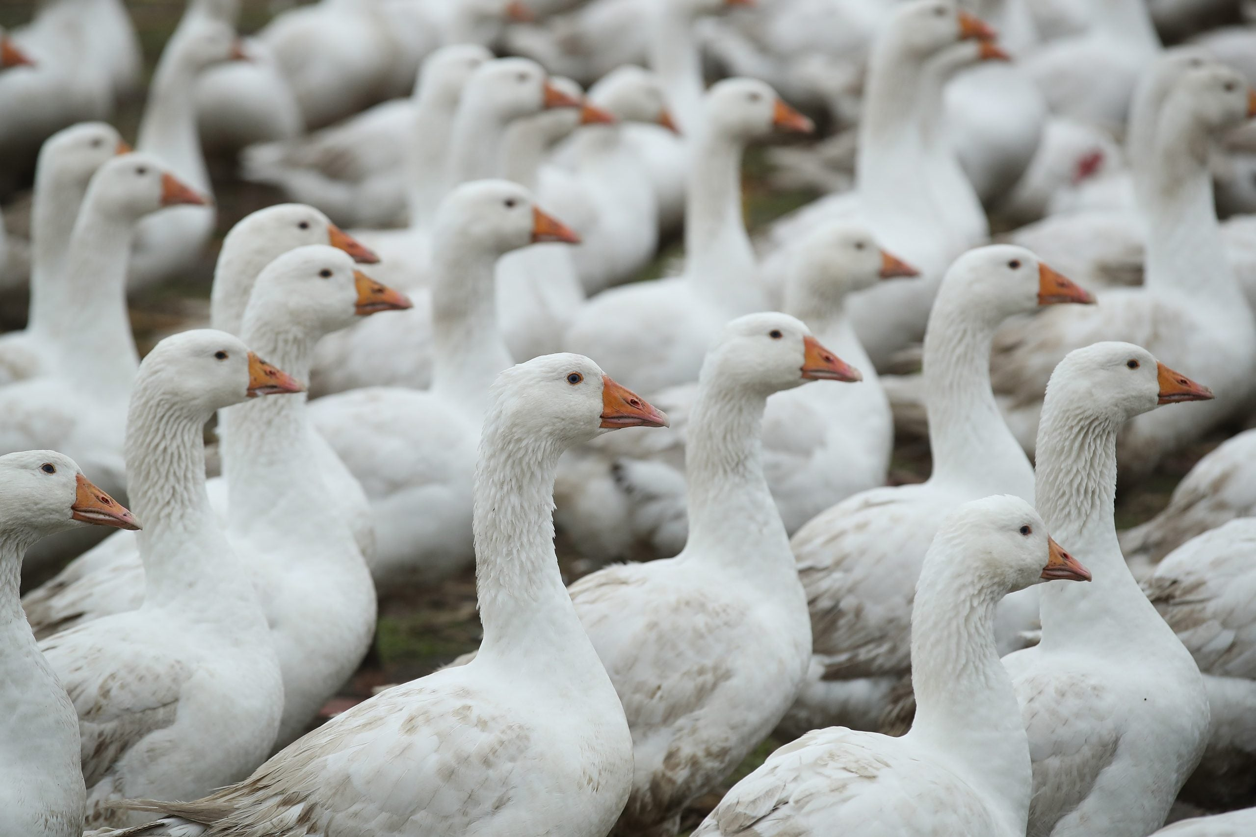This England: Given up the goose