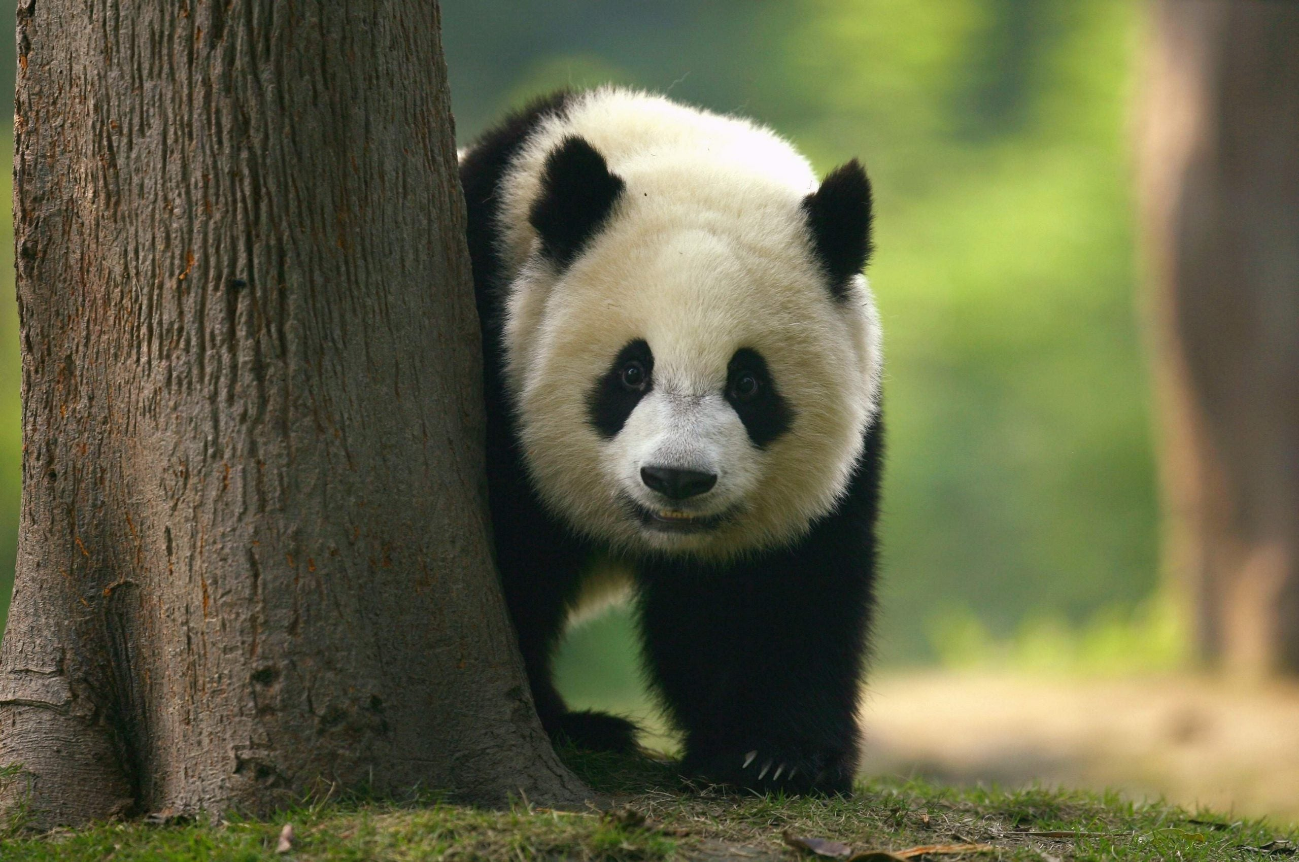 From endangered to vulnerable: have we really saved giant pandas from extinction?