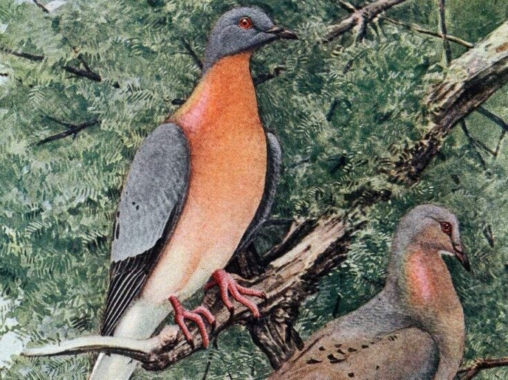 Humans not entirely at fault for passenger pigeon extinction
