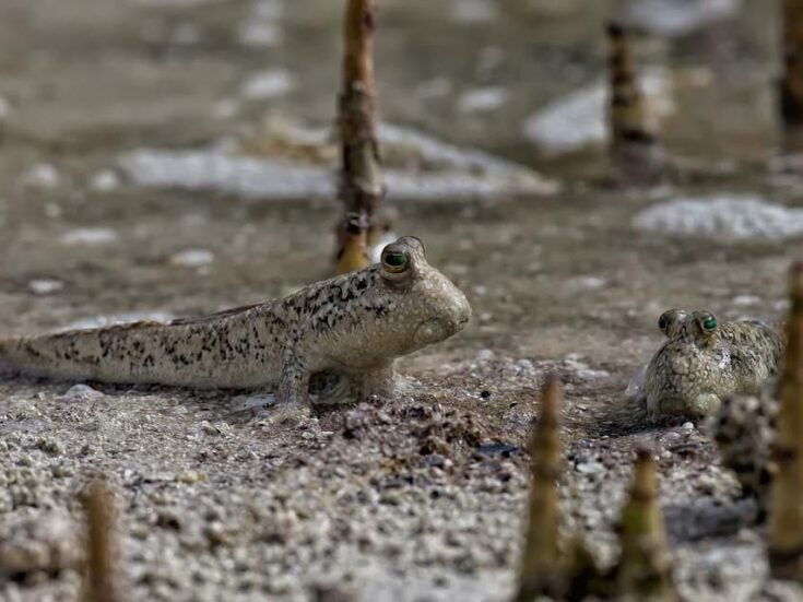 Watching the mudskipper, with its periscope eyes, is like looking back to when life first emerged from the water