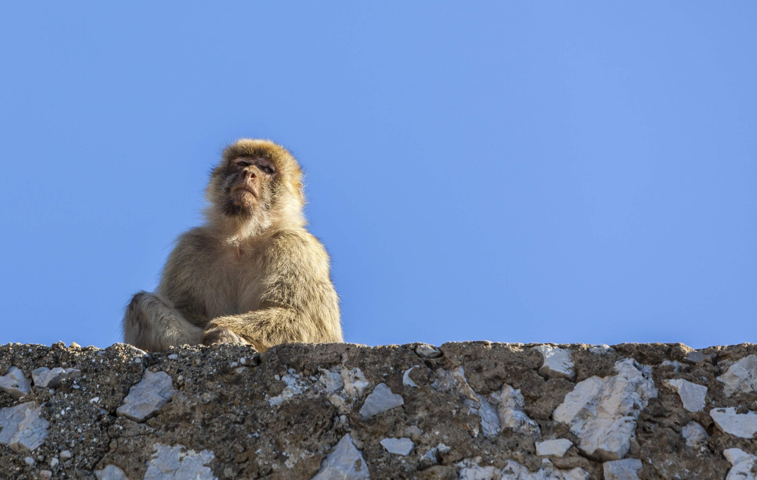 """Gibraltar's Barbary macaques - """"as long as they remain, so will the British"""""""