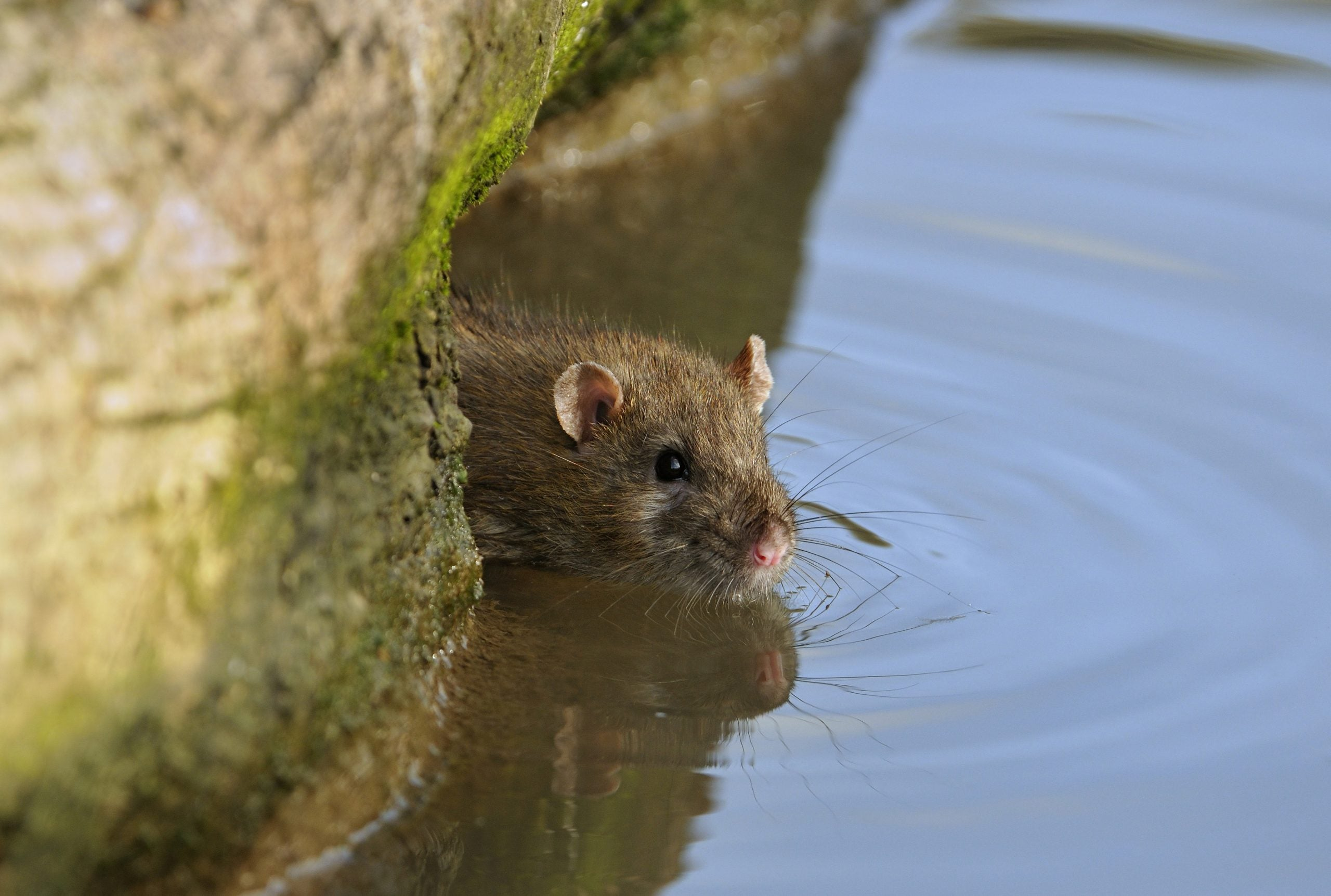 It's a boom time for rats, as those of us who live on boats already know