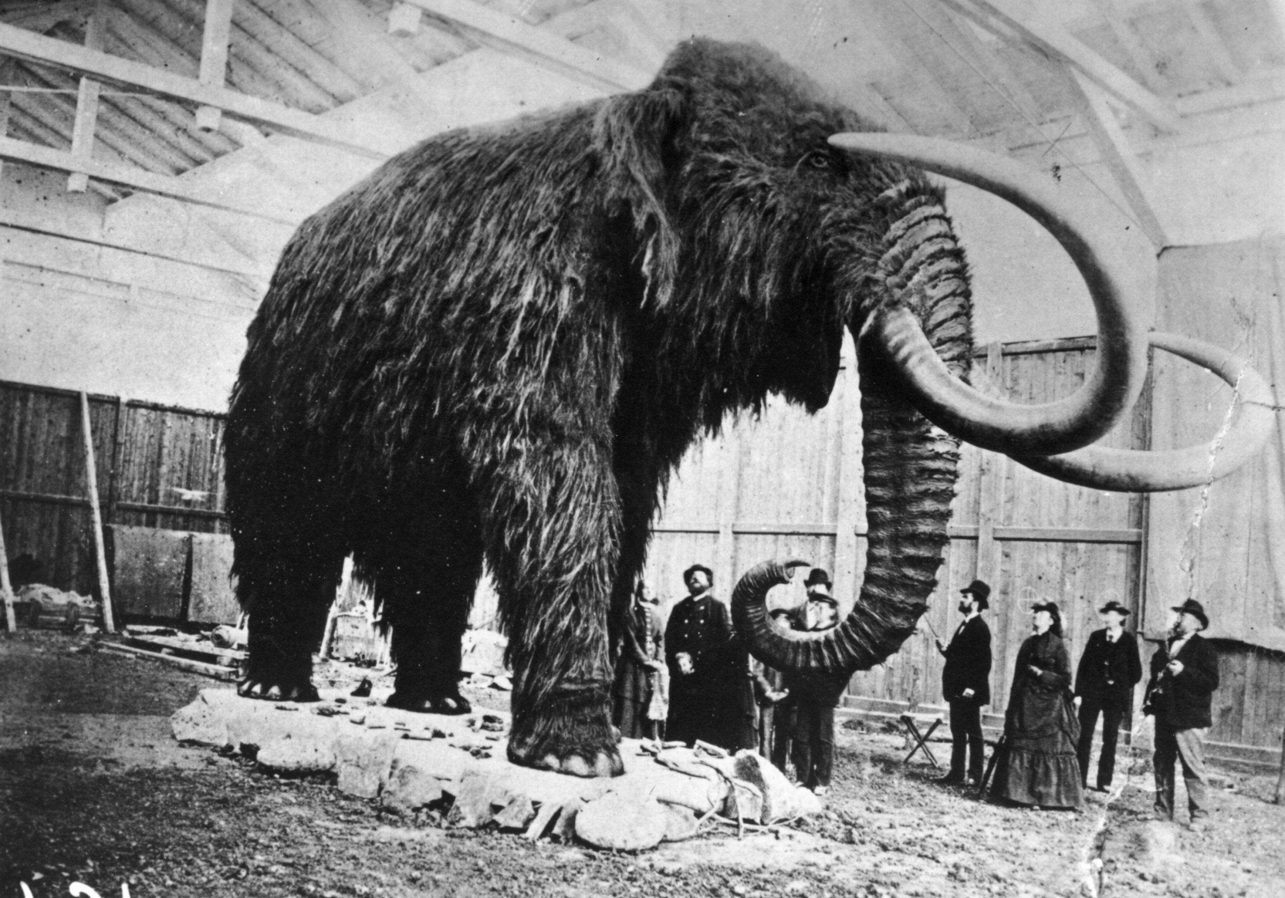 What really happened during the final days of the woolly mammoths?