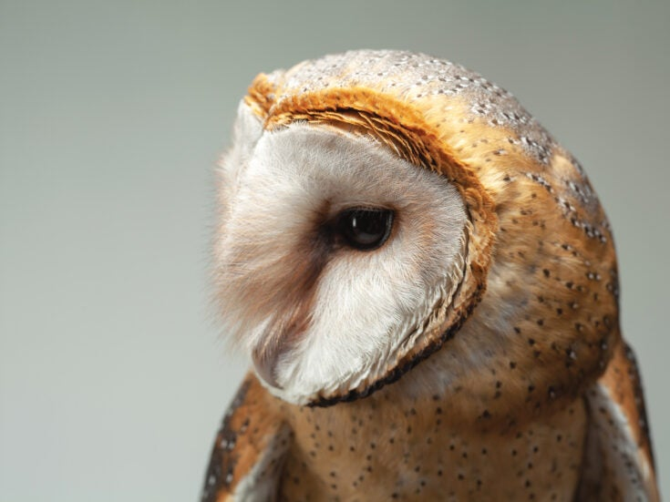Winter reflection: A barn owl, fallen from the skies