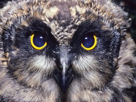 Unlike most of its kind, the short-eared owl comes to us in the daytime – but remains otherworldly