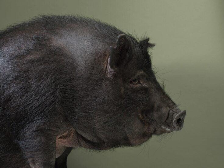 The vegetarian in the abattoir